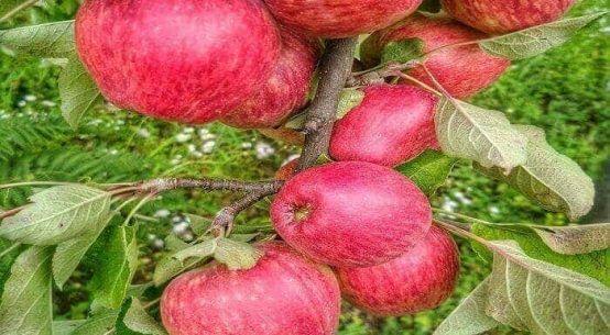Royal apple